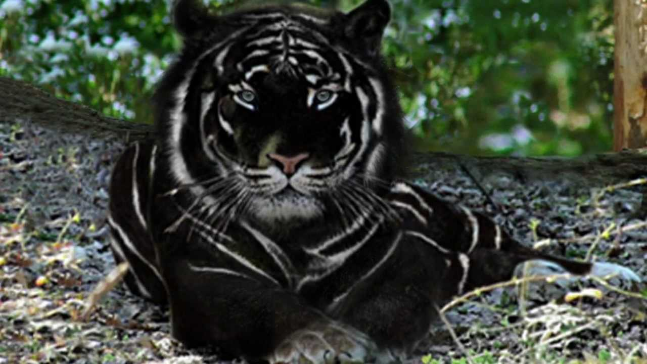 black tigers animal - photo #2