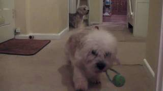 Shakin' All Over Jackson the Cute Funny Dandie Dinmont Terrier Dog Playing Games
