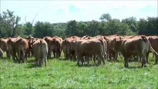Transhumances, de vaches de race Limousine, en Sologne