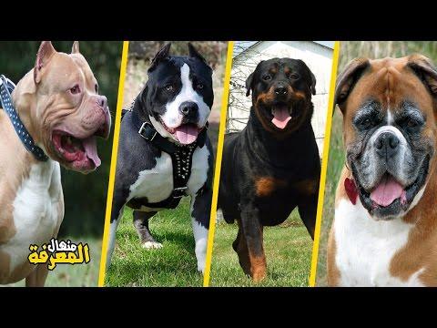 أخطر وأقوى 10 كلاب في العالم