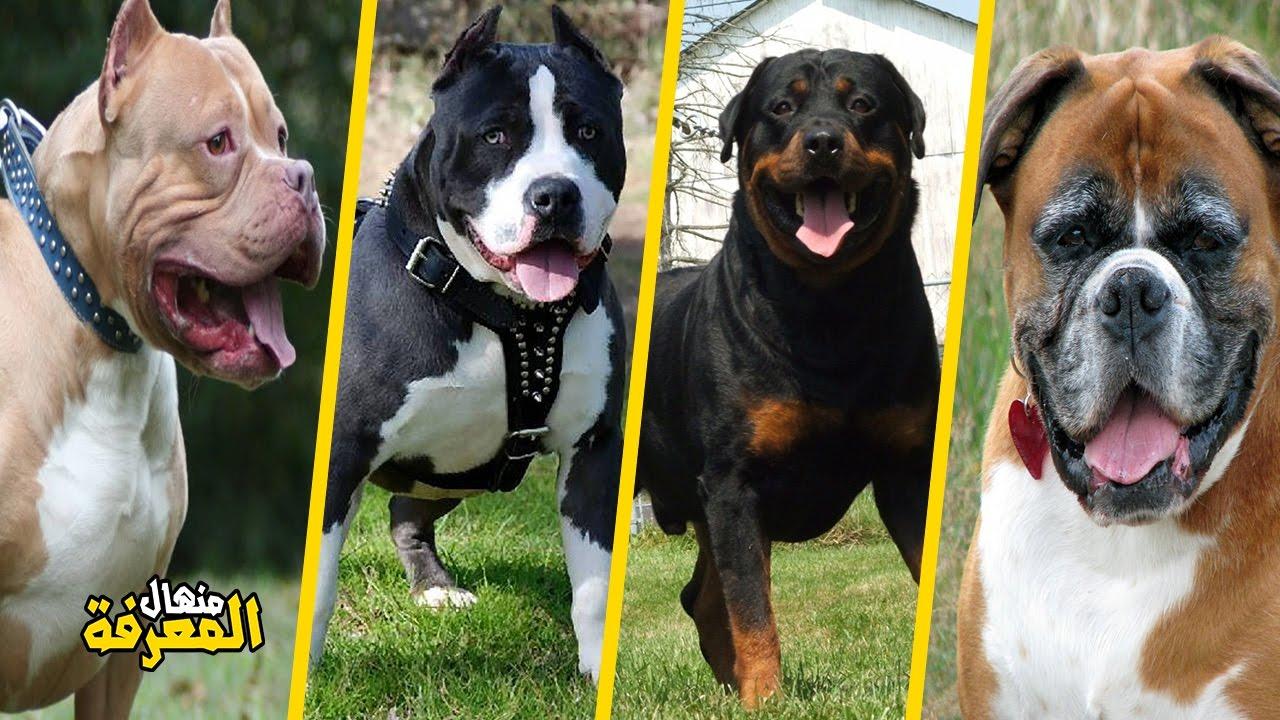 أخطر وأقوى 10 كلاب في العالم Youtube