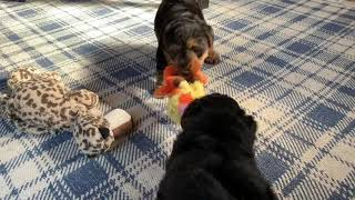 Welsh terrier puppies ( 45 old days)