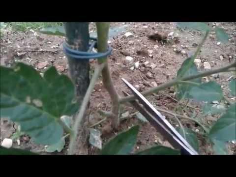 Ortaggi record melanzane 1 400 gr del geom pino del ge for Melanzane innestate