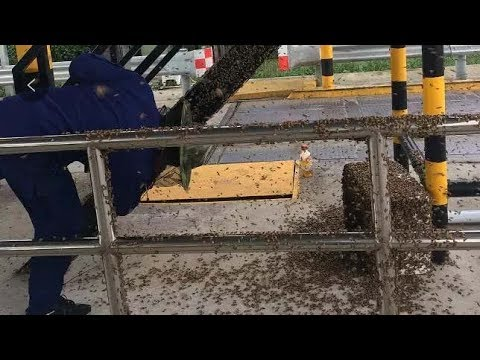 Thousands Of Bees Swarm Toll Gate After Escaping From Transport