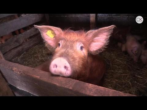 Африканская чума свиней выявлена в Белгородской области