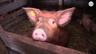 В Энгельсском районе сожгли около 1000 голов свиней