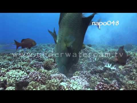 Maori wrasse hunting, stock footage: napo048