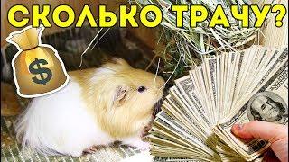 сколько стоит содержание морской свинки в месяц svinkishow