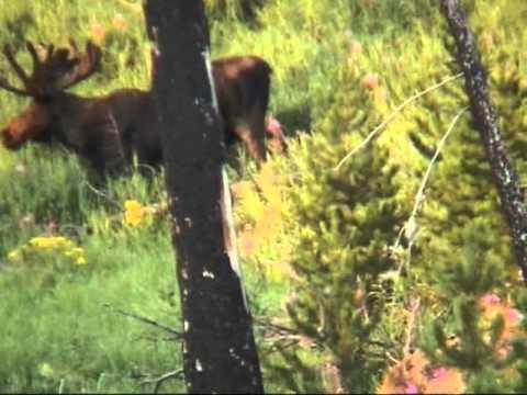Moose walking Yellowstone National park