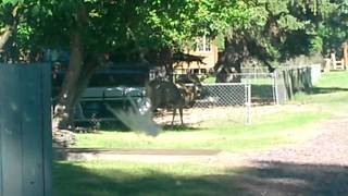 4 Point Buck in my neighbor's yard, greets me when I get home from the foundry