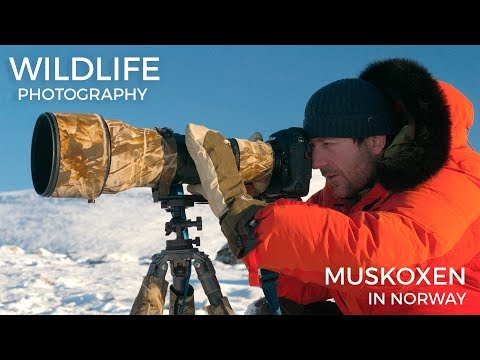 Wildlife photography - Musk Oxen part 1 | Behind the scenes with wildlife photographer Morten Hilmer