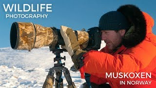 Wildlife photography - Musk Oxen part 1 | Behind the scenes with wildlife photographer Morten Hilmer thumbnail