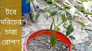 টবে মরিচের চারা রোপনের সঠিক পদ্ধতি | Correct method of planting Redchili