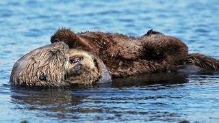 Playful Sea Otter Babies in the Pacific Ocean: Video