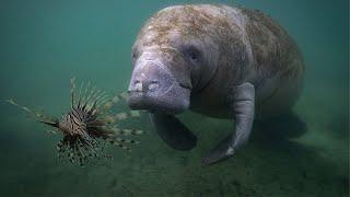 Manatee Eats Venomous Lion Fish