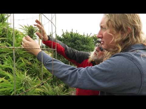 Grow Marijuana: Oregon Sungrown Growers Guild Big Cannabis Plants