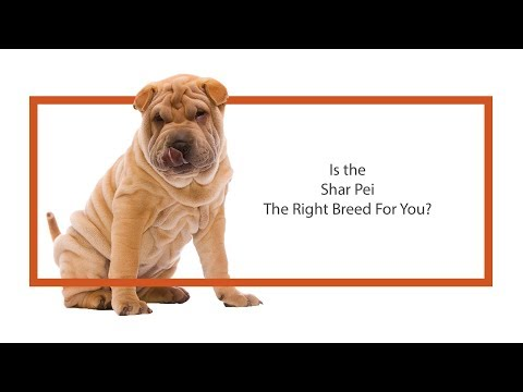 Is the Shar Pei the right breed for you?