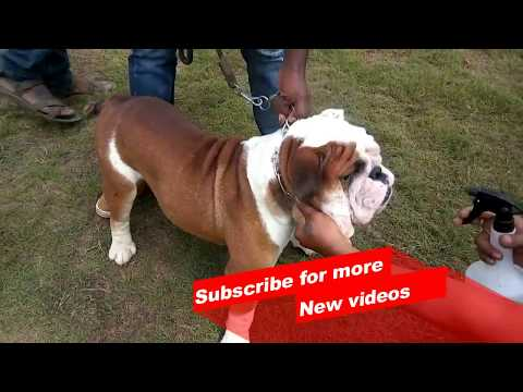 Wow ! Most Amazing dog breeds worldwide | Bull dog |
