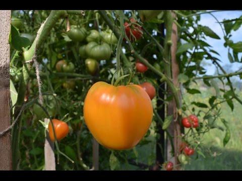 Кастинг на лучший сорт помидор (ч.2)