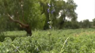 Cultivo de chía, una oportunidad para el campo poblano