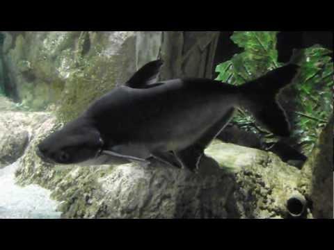 Пангасиус, Pangasius hypophthalmus, аквариумная рыба