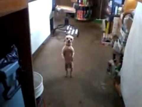 Dancing Merengue Dog