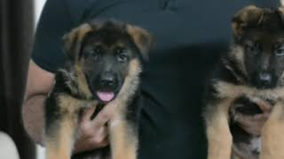 Professional German Shepherd Breeder  | Wondershep Kennel | Know About German Shepherd | Scoobers