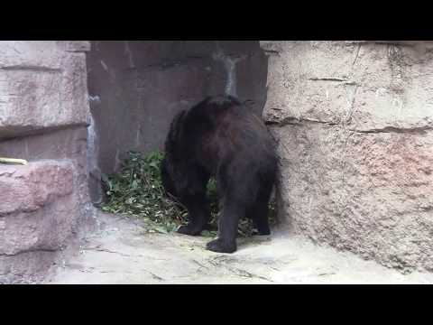 #15 Sep 2017 Asian black bear at Tennoji zoo, Osaka, Japan