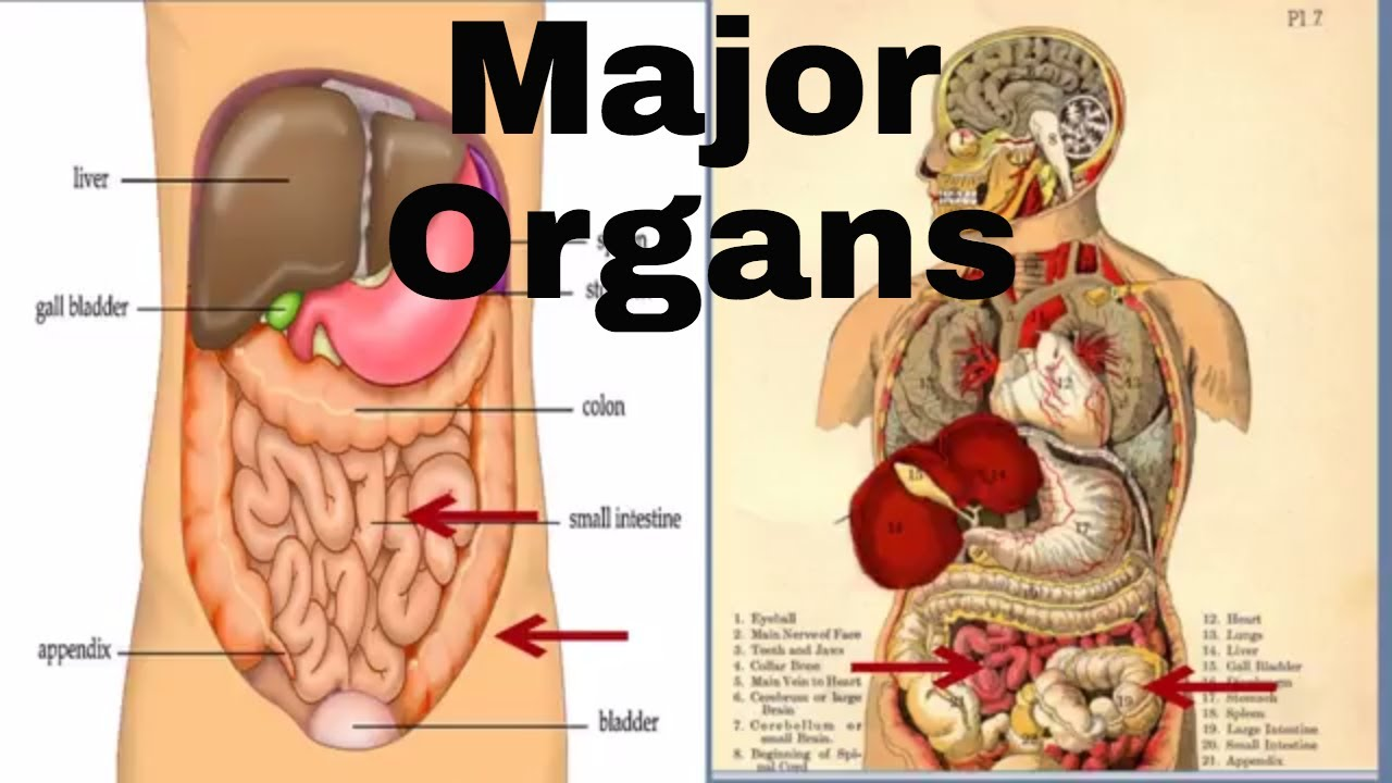 Major Organs Of The Human Body Middle School Youtube