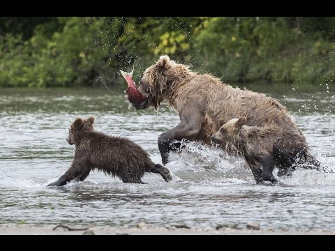 The Bears And I / Fishing Bears In Kamchatka (Russia)