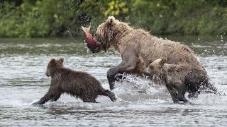 The bears and I / Fishing Bears in Kamchatka (Russia)