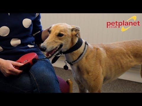 Adopting a Rescue Dog - Molly the Greyhound