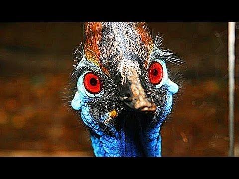 Вопрос: Зачем люди разводят очень опасных птиц казуаров?