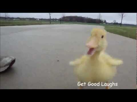 Hilarious Little Duck Is Following Man | Funny VIDEO | GGL