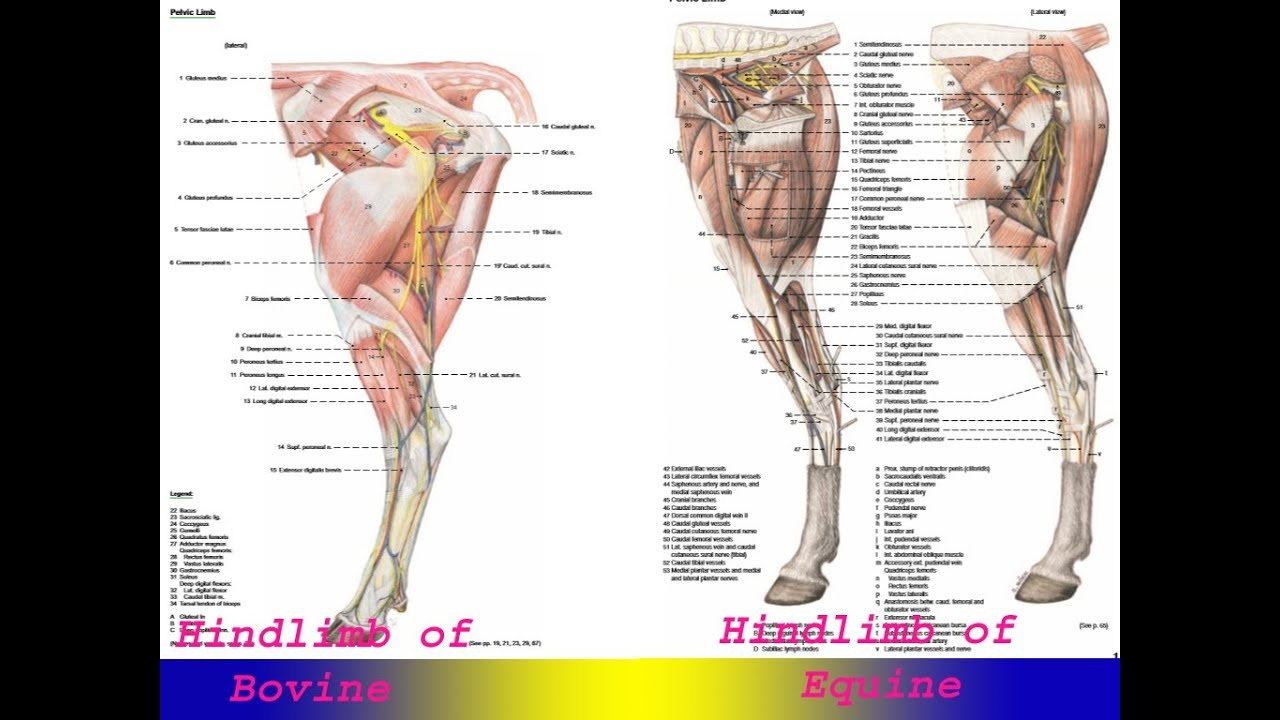 Cow Hind Leg Anatomy Diagram - Online Schematic Diagram •