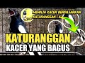 Katuranggan Kacer Yang Bagus Tips Memilih Kacer By Dr Kacer  Mp3 - Mp4 Download