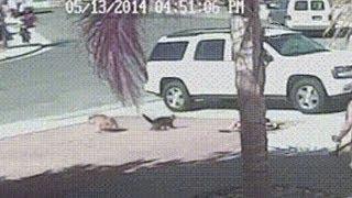 Кот спас мальчика от собаки и стал звездой (новости)(http://www.ntdtv.ru Кот спас мальчика от собаки и стал звездой. Кошка из Калифорнии, которая спасла сына своих хозяев..., 2014-05-21T14:37:34.000Z)