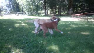 Labrador Retriever And Staffordshire Terrier Playing 4k