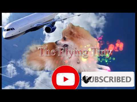 The flying Pomeranian Tiny full edited version Watch till the end
