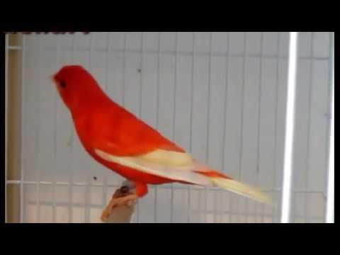 Download Lagu Kenari merah gacor intensif