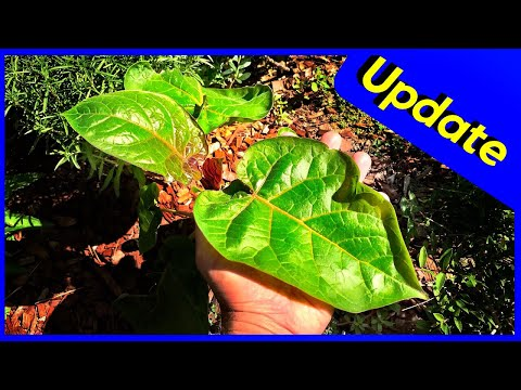 Foliar Feeding Seaweed & Fish Fertilizer (Results & Update)