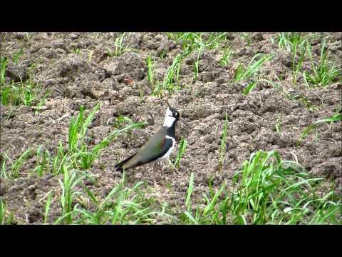 Kiebitz; Feldpfau; Kievit; Lapwing (Vanellus vanellus)