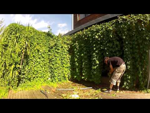 Garden chores, taming viginia creeper