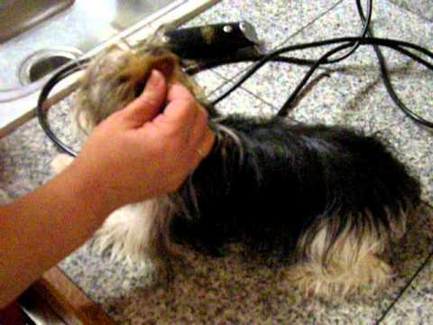 Trimming A Yorkshire Terrier S Ears Youtube