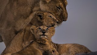 Mother lioness defends her cubs against an aggressive male