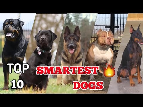 Top 10 most intelligent dog breeds in the world | Top 10 smartest dog 2018 | #Smartest dog