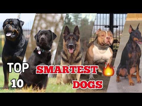 Top 10 most intelligent dog breeds in the world | Top 10 smartest dog 2018 | #Smartest dog