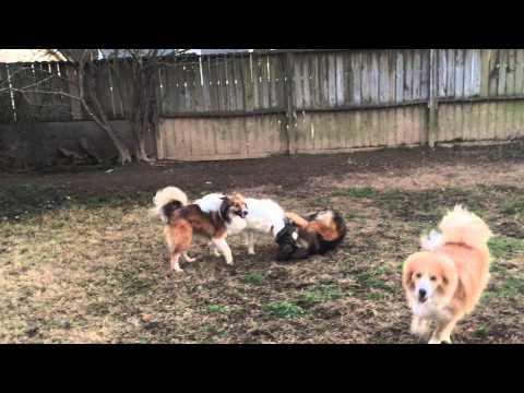 crazy-loud-barking!