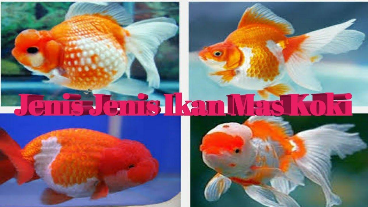 Jenis Jenis Ikan Mas Koki ( Part 1 ) - YouTube