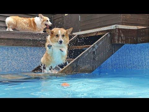 Corgi Swimming in the Private Dog Pool / 웰시코기 하레사샤 독채 강아지 수영장 누림